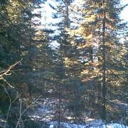 160 beltrami pine trees