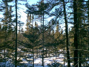 pine and open area